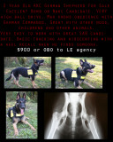 GSD For Sale!