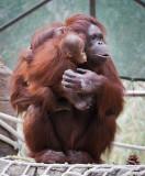 Mother Orangutan and female baby