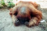 08_sleeping_orangutan_a.jpg