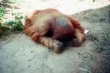 09_sleeping_orangutan_b.jpg