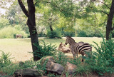 24_pghzoo_zebras.jpg