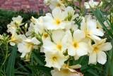 03_oleander.jpg