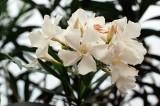 04_white_oleander.jpg