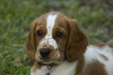 Jenny, the Welsh Springer Spaniel