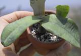 Fungal problem in Cattleya.  Fusarium? IMG10033