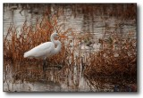Texas : Egret in Texas