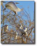 Gilbert, AZ : Egret on Wings