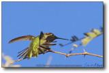 Gilbert, AZ : Hummer to take flight