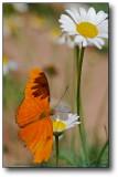 Butterfly & Daisy : AZ