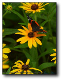 Rockford : Brown Eyed Susan with Butterfly