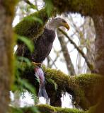 Bald Eagle w/fish