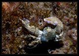 Laguna Crab