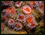 clusters of strawberry anemones