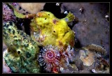 Frogfish under the Christmas Tree