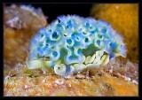 Lettuce Sea Slug w/uncommonly seen blue tint