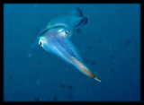 Daytime Squid
