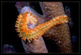 Bearded Fireworm