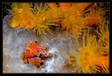 Southern Teardrop Crab & Orange Tube Anenomes