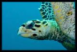Hawksbill Turtle, Flippers Up