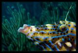Scrawled Filefish up close
