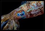 Iridescent Caribbean Reef Squid