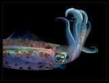 Fancy Squid Hairdo