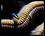 Cleaning Goby and Brain Coral