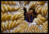 Bonaire Mantis Shrimp - rare find