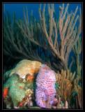 Azure Vase Sponge & Gorgonians