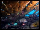large Porcupinefish
