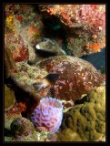 Azure Vase Sponge, Bicolor Damselfish & Spotted Trunkfish