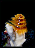 Another Christmas Tree worm
