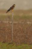 Common Kestrel ( Falco tinnunculus )