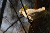 Sulphur crested Cockatoo ( Cacatua galerita )
