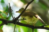 Cream-vented Bulbul ( Pycnonotus simplex )