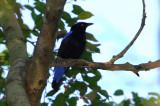 Asian Fairy Bluebird (Irena puella)