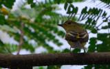 Yellow-rumped Flycatcher, Female