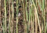 Menetrie's Warbler