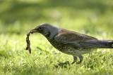 Fieldfare(Turdus pilaris)
