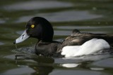 Tufted Duck.Male ( Aythya fuligula)
