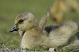 Canada Goose(Branta canadensis