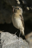 northern_wheatear_