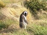 Magellan Penguins at Seno Ottway