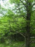 Tree near the Serrano River