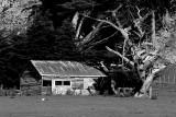 Barn and Macrocarpa