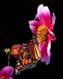 21 Feb 06 - The Butterflies of Last Summer