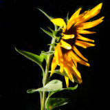 11 March 07 - The Sunflower