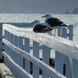 8 May 07 - Ubiquitous seagulls
