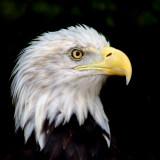 AMERICAN BALD EAGLE_1537.jpg