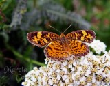 PEARL CRESCENT BUTTERFLY 9524-.jpg